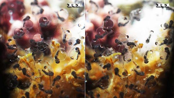 キアンコウの卵 2017/07/08 積丹・美国でダイビング: 海の中より ...