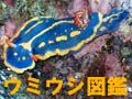 Umiusi_zukan_aoumiusi_070722